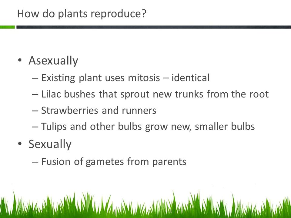 How do plants reproduce? Asexually – Existing plant uses mitosis – identical – Lilac bushes that sprout new trunks from the root – Strawberries and ru