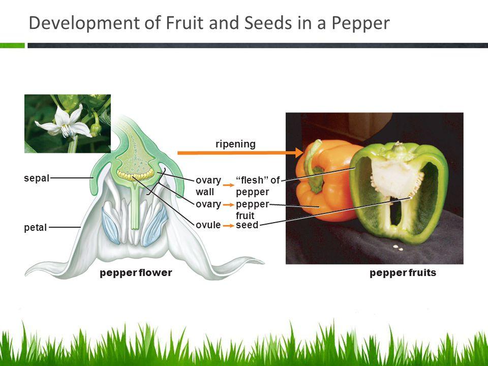 Development of Fruit and Seeds in a Pepper sepal ovary petal pepper flowerpepper fruits ovary wall ovule pepper fruit flesh of pepper seed ripening