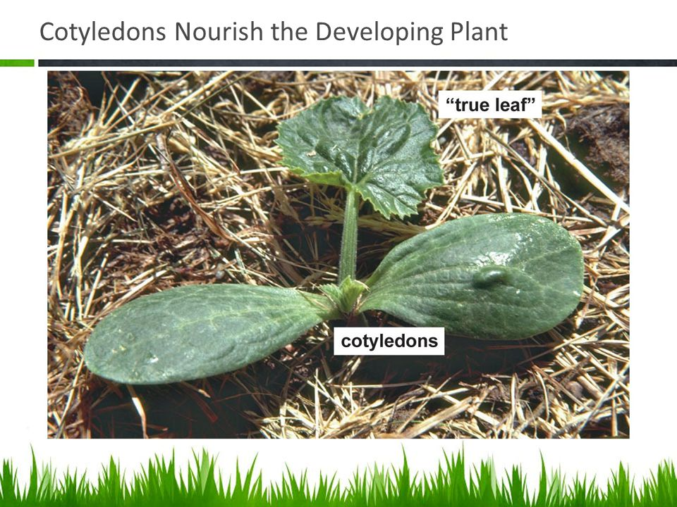 Cotyledons Nourish the Developing Plant