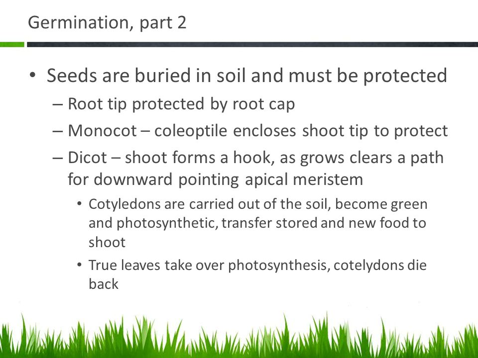 Germination, part 2 Seeds are buried in soil and must be protected – Root tip protected by root cap – Monocot – coleoptile encloses shoot tip to prote