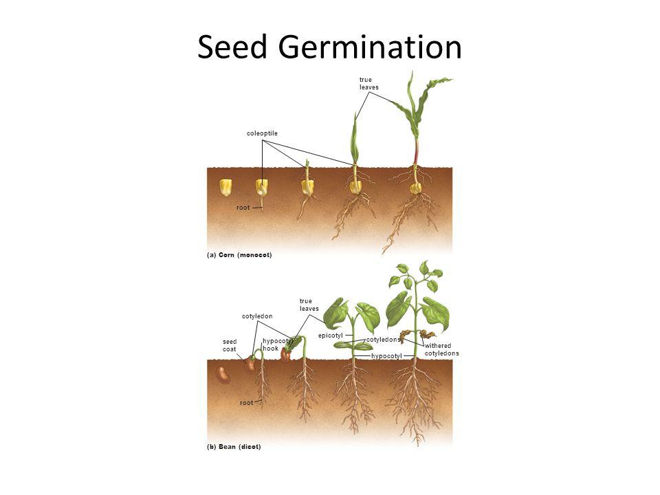 Seed Germination root hypocotyl hook root seed coat cotyledons cotyledon hypocotyl epicotyl withered cotyledons true leaves coleoptile true leaves (b)