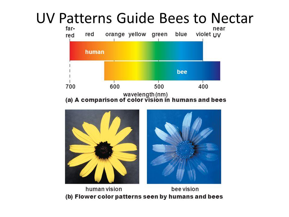 UV Patterns Guide Bees to Nectar near UV 400 bee visionhuman vision violetbluegreenyelloworangered far- red wavelength (nm) 700600500 human bee (a) A