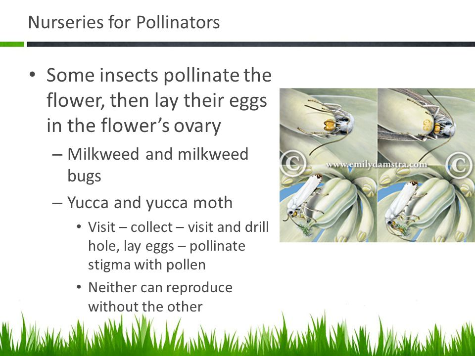 Nurseries for Pollinators Some insects pollinate the flower, then lay their eggs in the flowers ovary – Milkweed and milkweed bugs – Yucca and yucca m