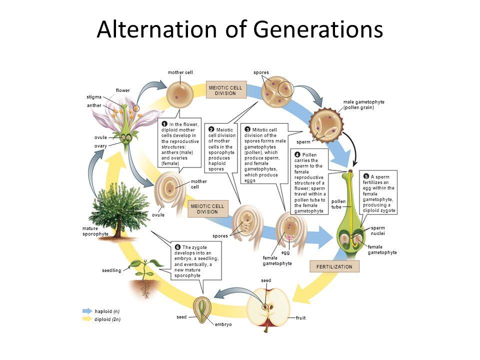 female gametophyte male gametophyte (pollen grain) pollen tube sperm nuclei sperm female gametophyte fruit haploid (n) diploid (2n) The zygote develop