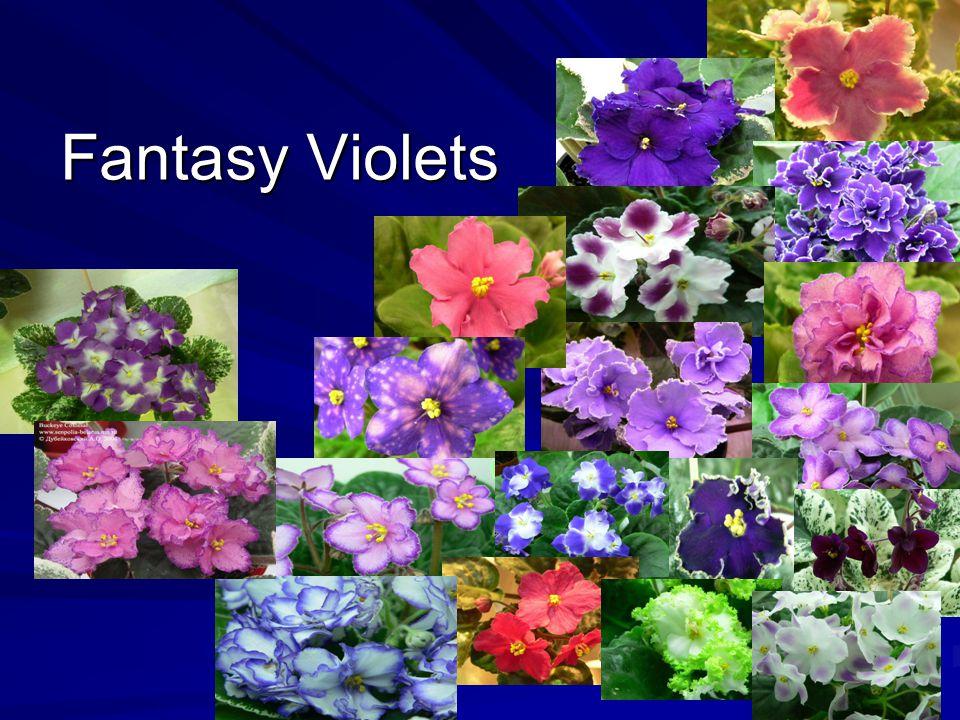 Fantasy Violets