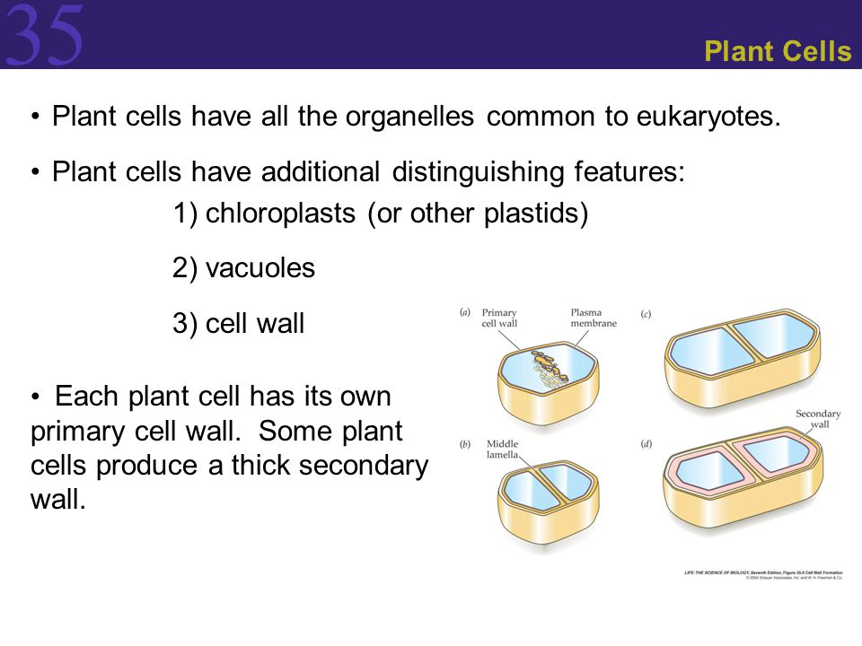 35 Plant Cells Plant cells have all the organelles common to eukaryotes. Plant cells have additional distinguishing features: 1) chloroplasts (or othe