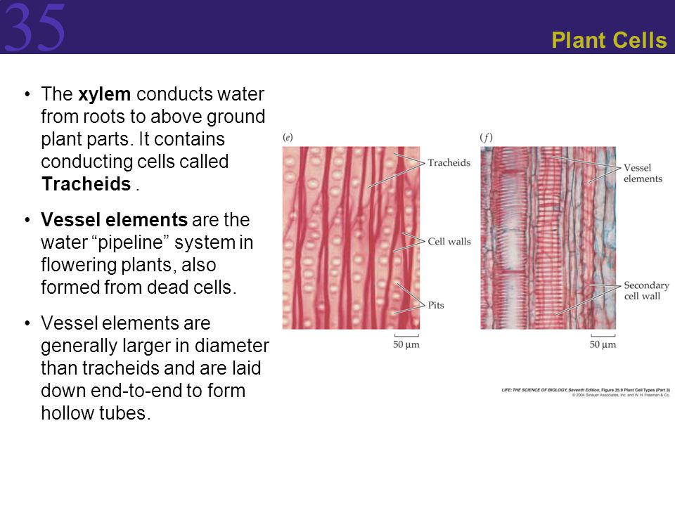 35 Plant Cells The xylem conducts water from roots to above ground plant parts. It contains conducting cells called Tracheids. Vessel elements are the