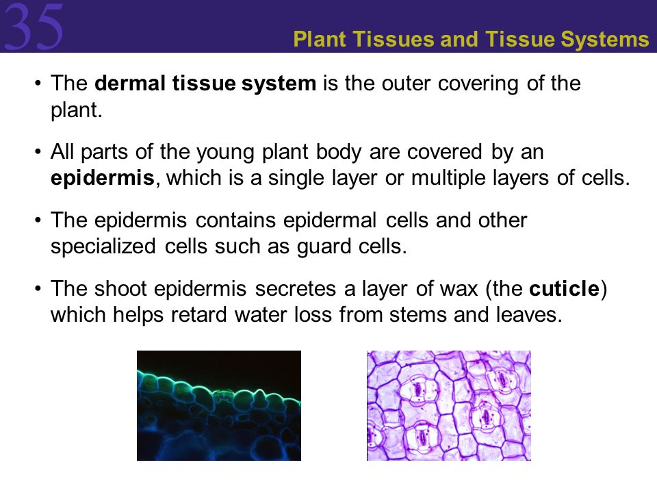 35 Plant Tissues and Tissue Systems The dermal tissue system is the outer covering of the plant. All parts of the young plant body are covered by an e