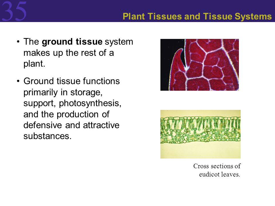 35 Plant Tissues and Tissue Systems The ground tissue system makes up the rest of a plant. Ground tissue functions primarily in storage, support, phot