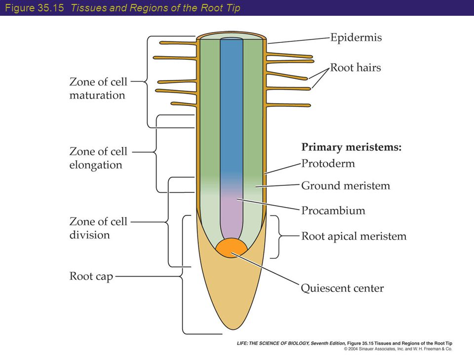 Figure 35.15 Tissues and Regions of the Root Tip