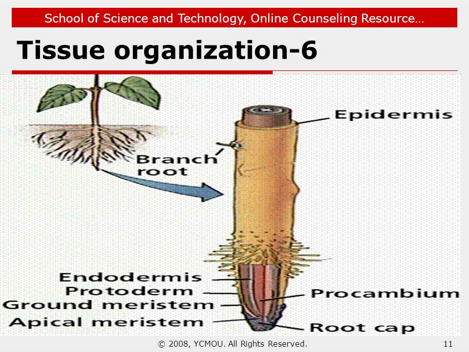 School of Science and Technology, Online Counseling Resource… Tissue organization-6 © 2008, YCMOU. All Rights Reserved.11