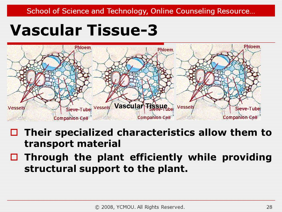 School of Science and Technology, Online Counseling Resource… Vascular Tissue-3 Their specialized characteristics allow them to transport material Thr