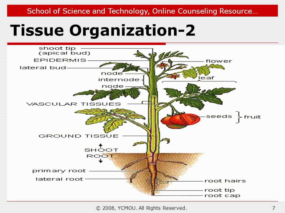 School of Science and Technology, Online Counseling Resource… Tissue Organization-2 © 2008, YCMOU. All Rights Reserved.7