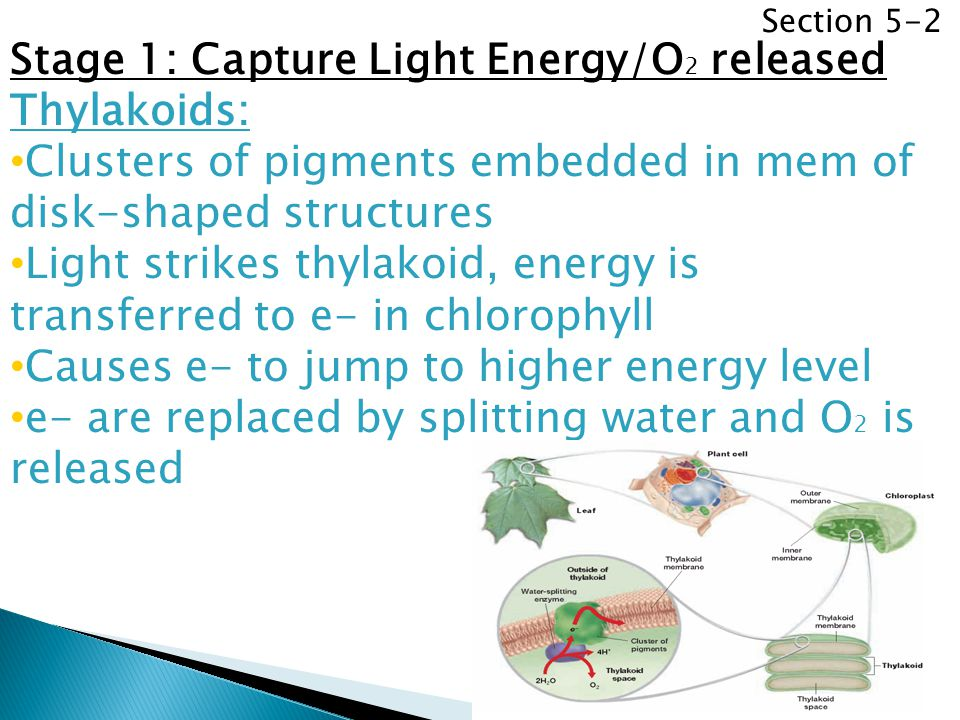 Section 5-2 Stage 1: Capture Light Energy/O 2 released Thylakoids: Clusters of pigments embedded in mem of disk-shaped structures Light strikes thylak