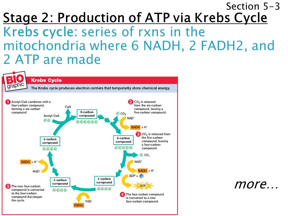 Section 5-3 Stage 2: Production of ATP via Krebs Cycle Krebs cycle: series of rxns in the mitochondria where 6 NADH, 2 FADH2, and 2 ATP are made more…