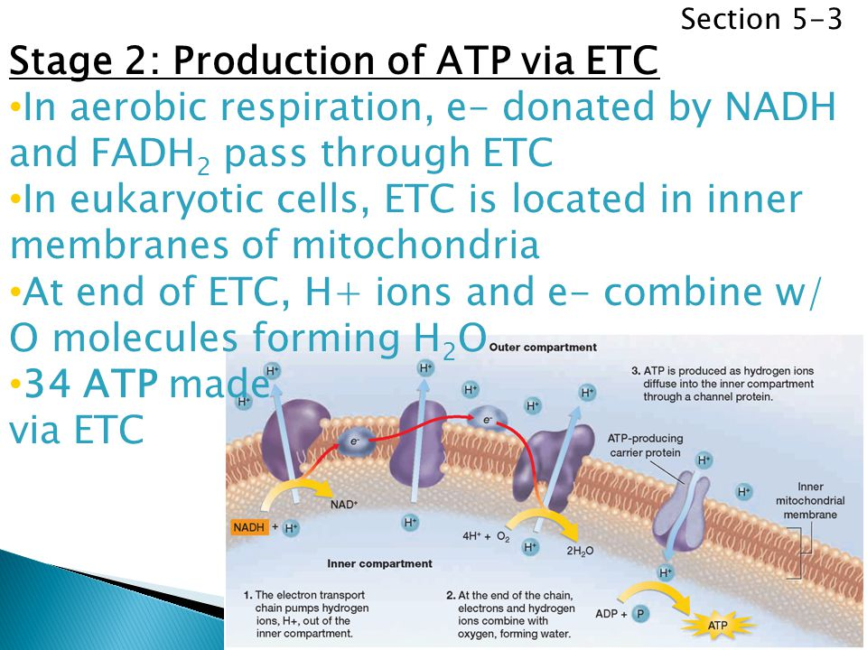 Section 5-3 Stage 2: Production of ATP via ETC In aerobic respiration, e- donated by NADH and FADH 2 pass through ETC In eukaryotic cells, ETC is loca