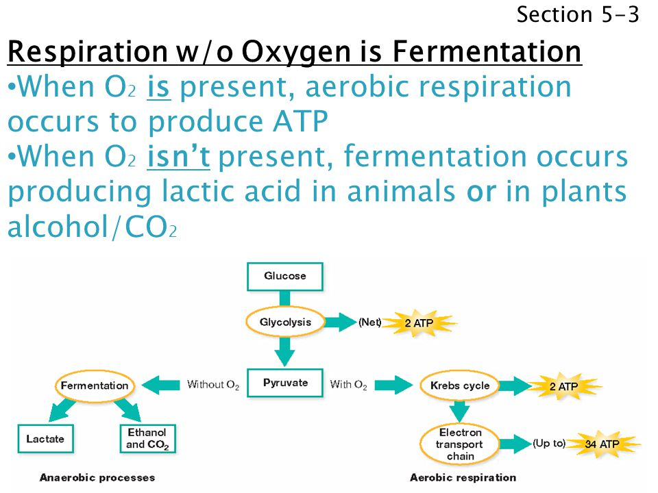 Section 5-3 Respiration w/o Oxygen is Fermentation When O 2 is present, aerobic respiration occurs to produce ATP When O 2 isnt present, fermentation