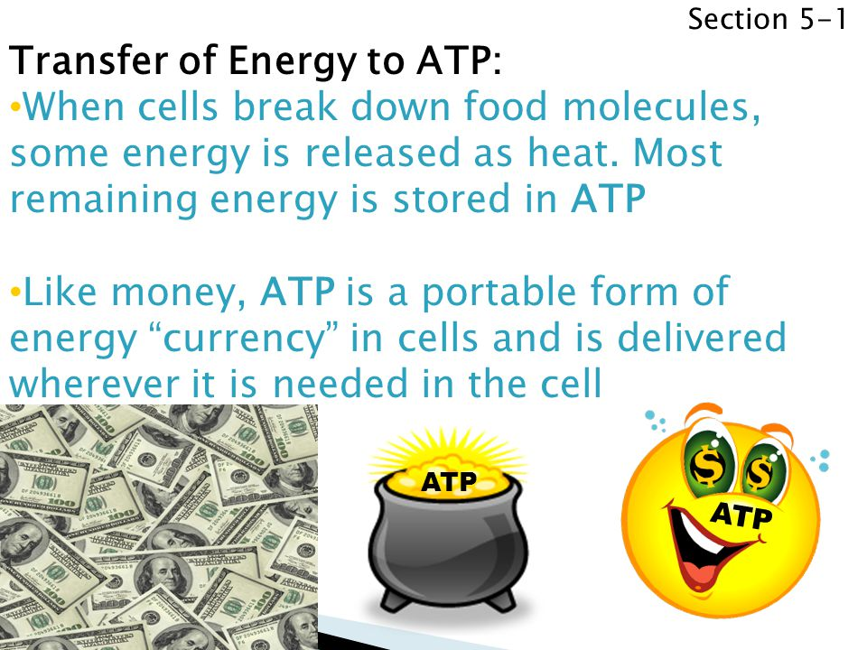 Section 5-1 Transfer of Energy to ATP: When cells break down food molecules, some energy is released as heat. Most remaining energy is stored in ATP L