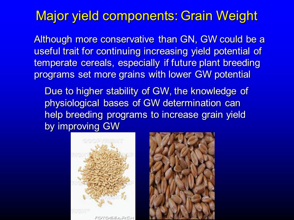 Major yield components: Grain Weight Although more conservative than GN, GW could be a useful trait for continuing increasing yield potential of temperate cereals, especially if future plant breeding programs set more grains with lower GW potential Due to higher stability of GW, the knowledge of physiological bases of GW determination can help breeding programs to increase grain yield by improving GW