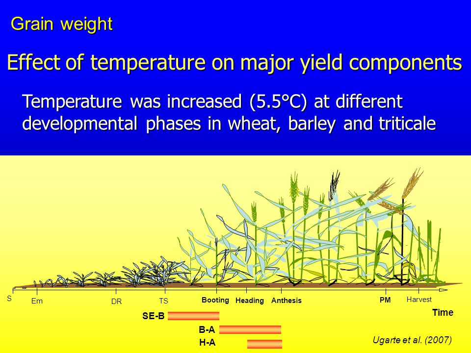 Temperature was increased (5.5°C) at different developmental phases in wheat, barley and triticale S Em Anthesis PM Heading Harvest Time DR TS Booting B-A H-A SE-B Ugarte et al.