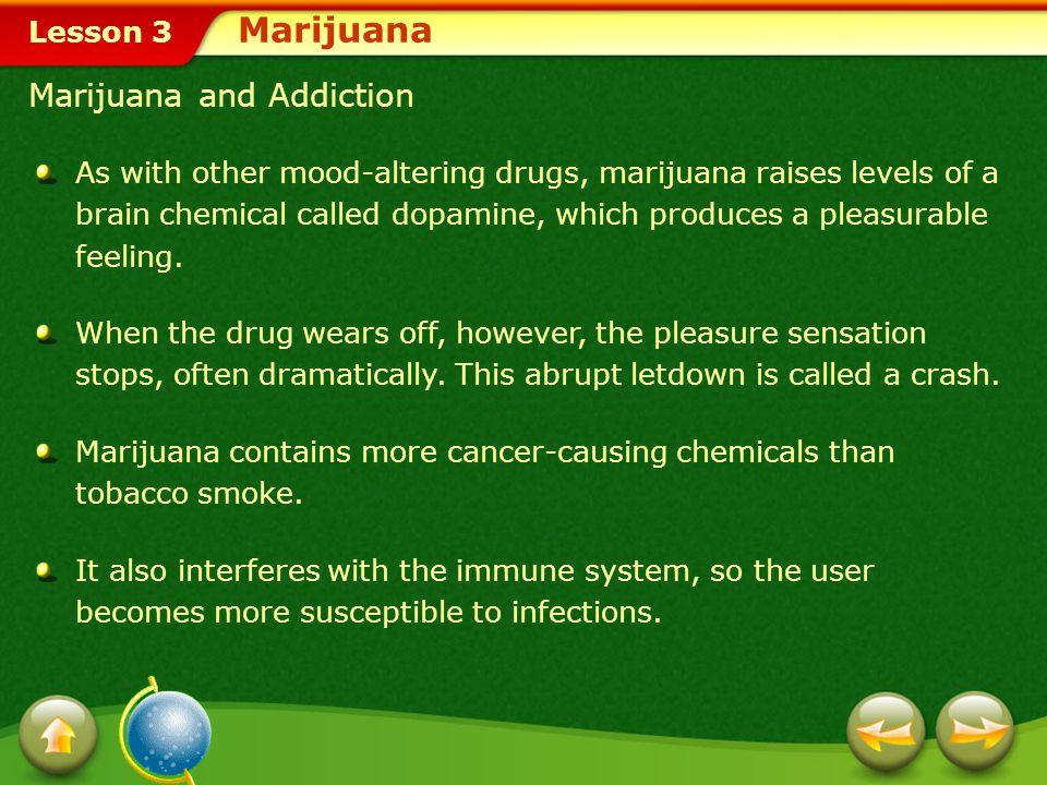 Lesson 3 Effects of Marijuana MarijuanaMarijuana is the common name for the Indian hemp plant.