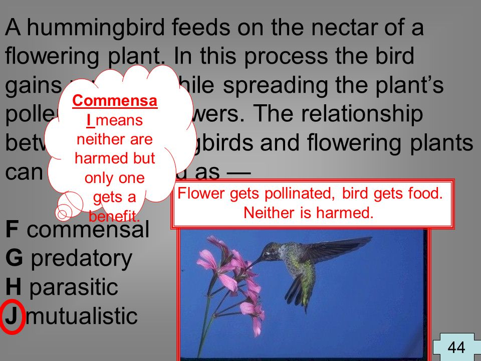 A hummingbird feeds on the nectar of a flowering plant. In this process the bird gains nutrition while spreading the plants pollen to other flowers. T