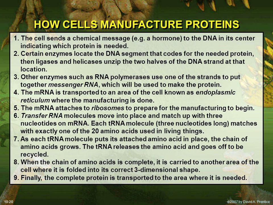 2007 by David A. Prentice HOW CELLS MANUFACTURE PROTEINS 1.