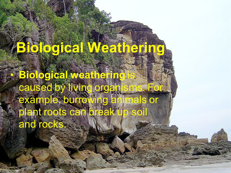 Biological Weathering Biological weathering is caused by living organisms. For example, burrowing animals or plant roots can break up soil and rocks.