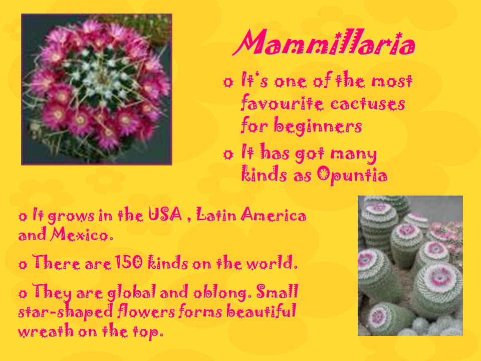 Mammillaria oIoIoIoIts one of the most favourite cactuses for beginners oIoIoIoIt has got many kinds as Opuntia o Io Io Io It grows in the USA, Latin America and Mexico.
