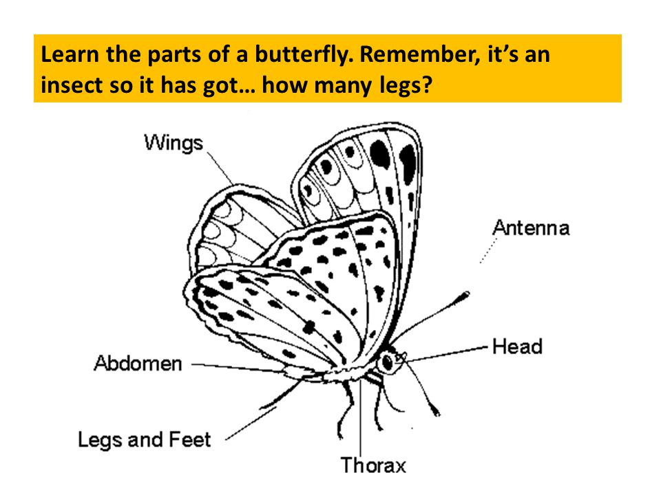 Learn the parts of a butterfly. Remember, its an insect so it has got… how many legs?