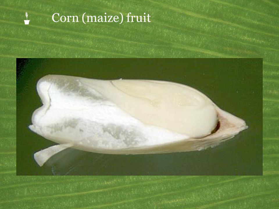 Corn (maize) fruit