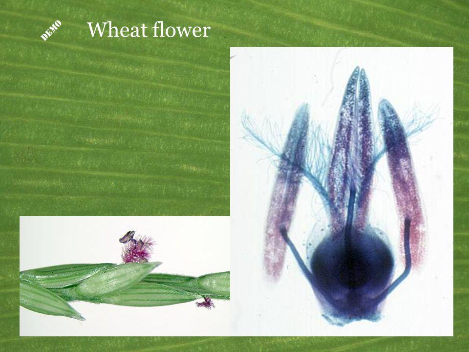 Triticum (wheat) grain