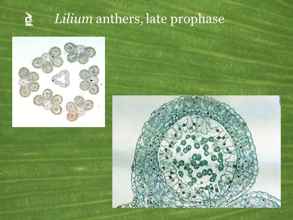 Lilium mature anthers