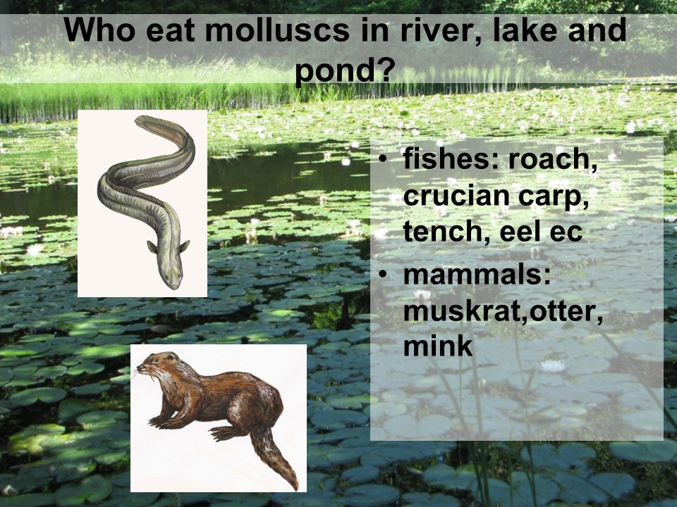Who eat molluscs in river, lake and pond.