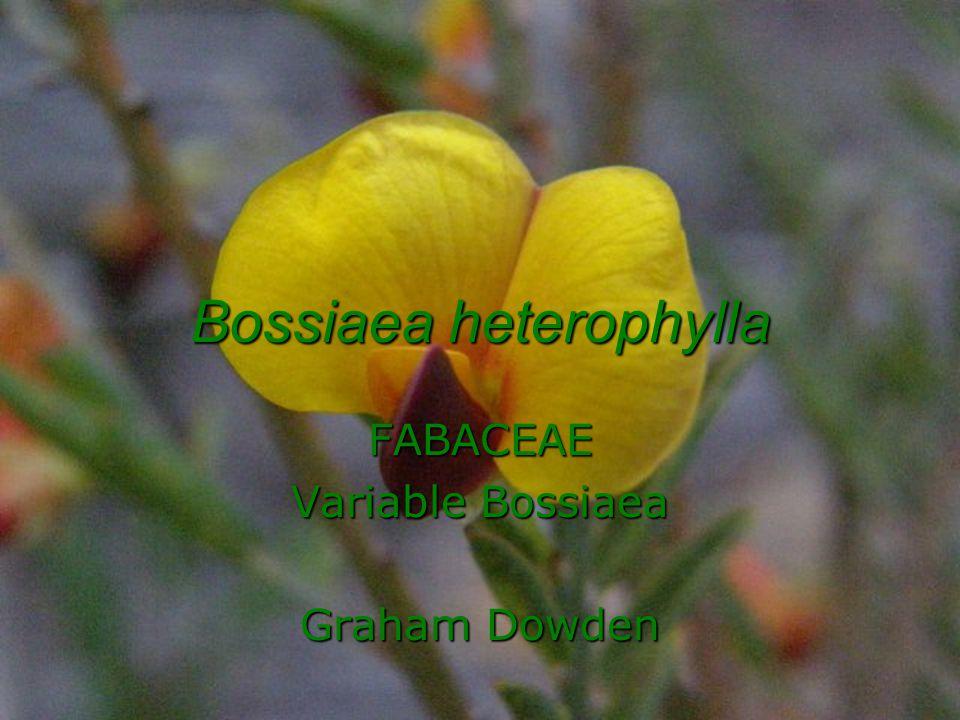 Bossiaea heterophylla FABACEAE Variable Bossiaea Graham Dowden