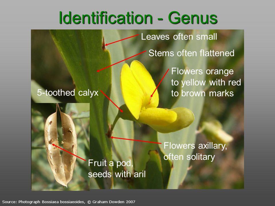 Identification - Genus Source: Photograph Bossiaea bossiaeoides, © Graham Dowden 2007 Stems often flattened Leaves often small Flowers axillary, often