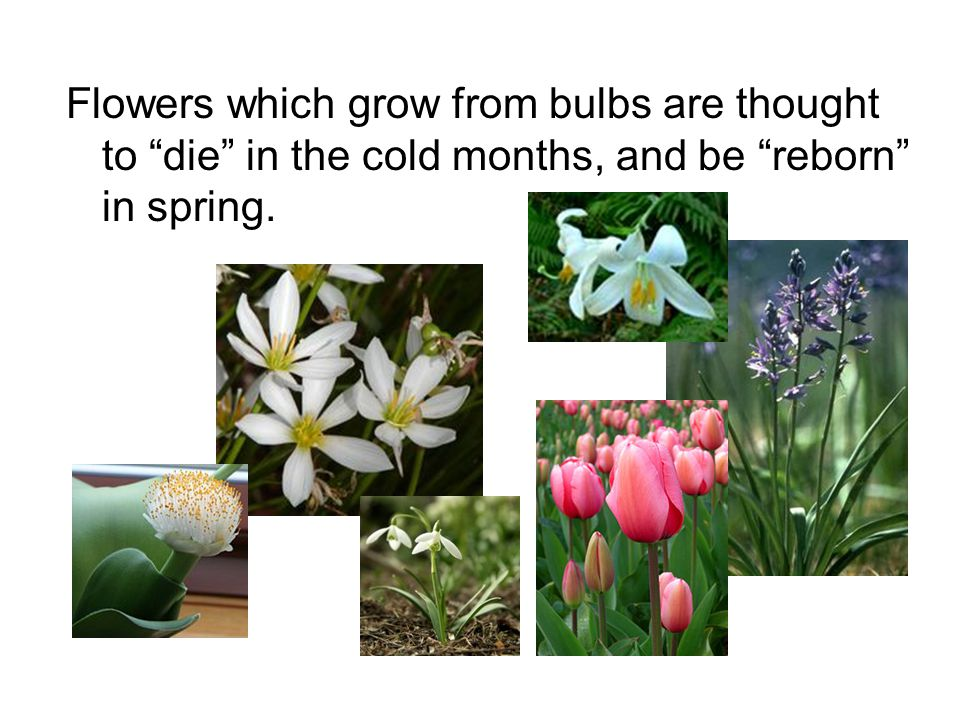 Flowers which grow from bulbs are thought to die in the cold months, and be reborn in spring.