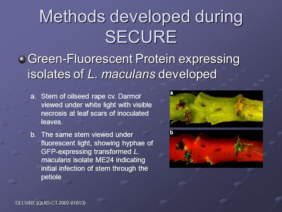 SECURE (QLK5-CT-2002-01813) Methods developed during SECURE Green-Fluorescent Protein expressing isolates of L.