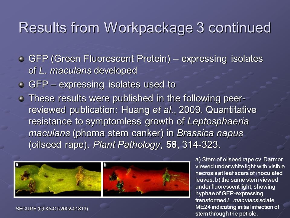 SECURE (QLK5-CT-2002-01813) Results from Workpackage 3 continued GFP (Green Fluorescent Protein) – expressing isolates of L.