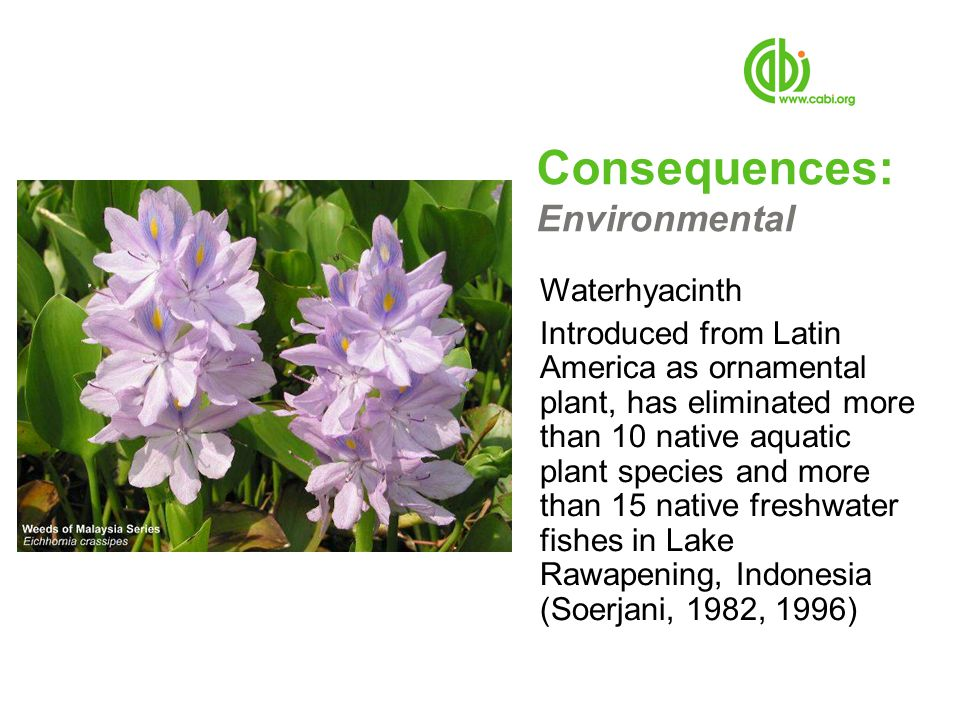 Consequences: Environmental Waterhyacinth Introduced from Latin America as ornamental plant, has eliminated more than 10 native aquatic plant species and more than 15 native freshwater fishes in Lake Rawapening, Indonesia (Soerjani, 1982, 1996)