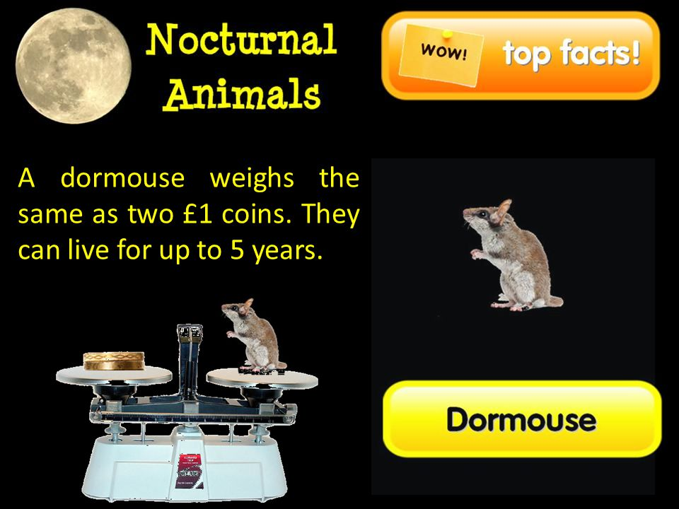 A dormouse weighs the same as two £1 coins. They can live for up to 5 years.