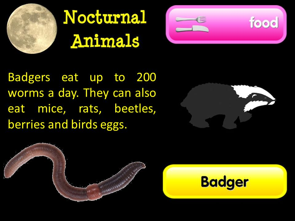 Badgers eat up to 200 worms a day. They can also eat mice, rats, beetles, berries and birds eggs.