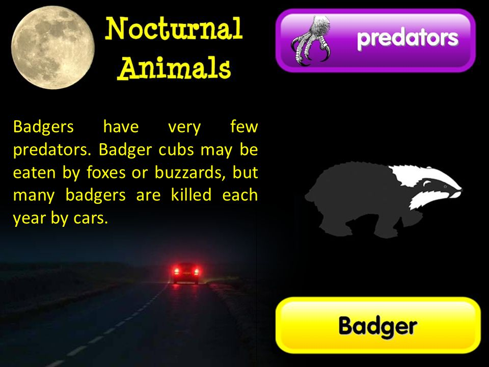 Badgers have very few predators. Badger cubs may be eaten by foxes or buzzards, but many badgers are killed each year by cars.