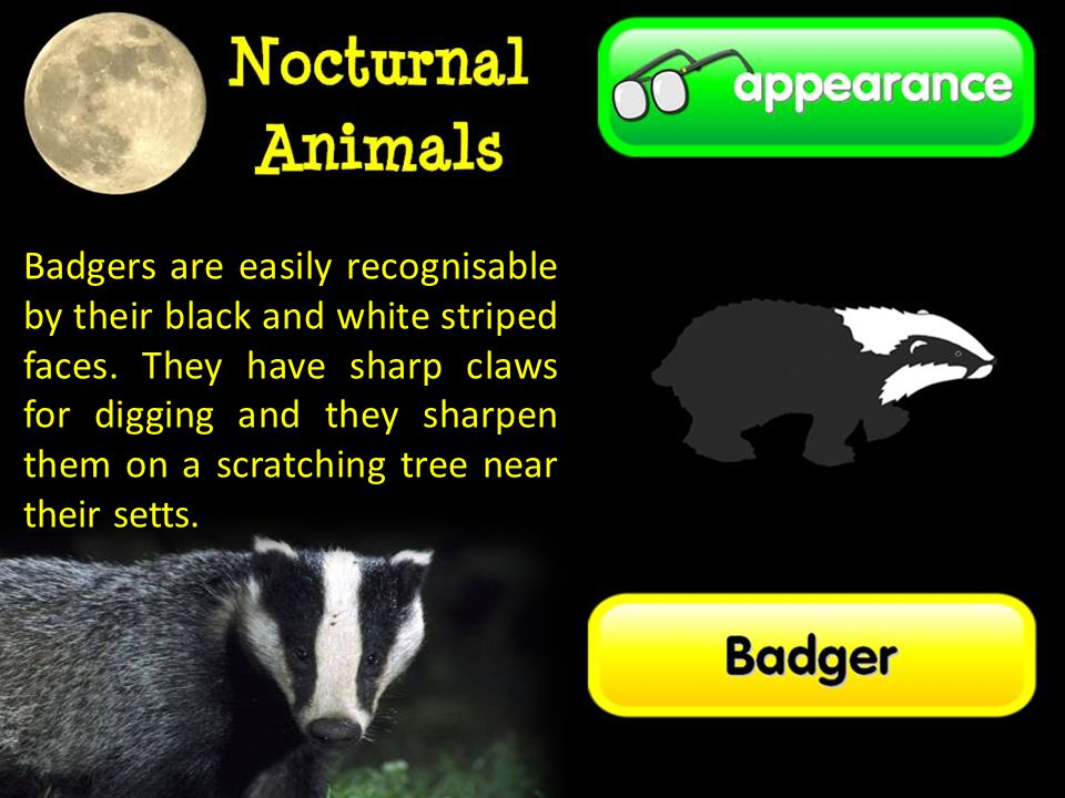 Badgers are easily recognisable by their black and white striped faces.