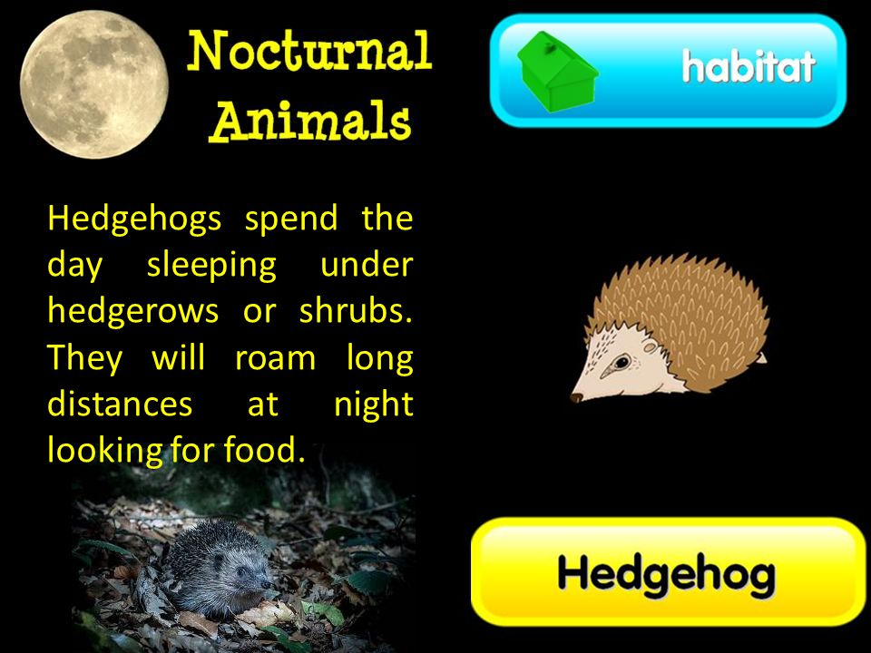 Hedgehogs spend the day sleeping under hedgerows or shrubs.