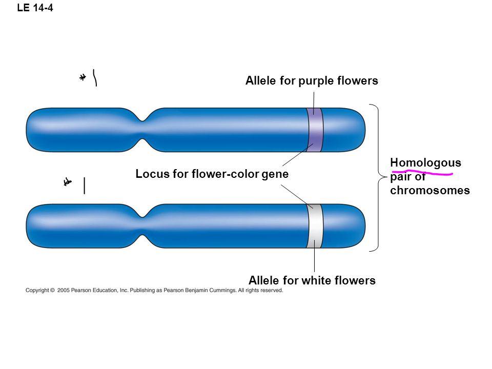 LE 14-4 Allele for purple flowers Homologous pair of chromosomes Allele for white flowers Locus for flower-color gene