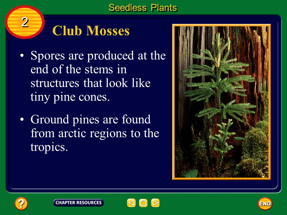 Club Mosses Ground pines and spike mosses are groups of plants that often are called club mosses. Seedless Plants 2 2 These seedless vascular plants h