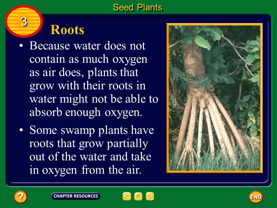 Roots Roots can store food. When you eat carrots or beets, you eat roots that contain stored food. Seed Plants 3 3 Root tissue also can perform functi