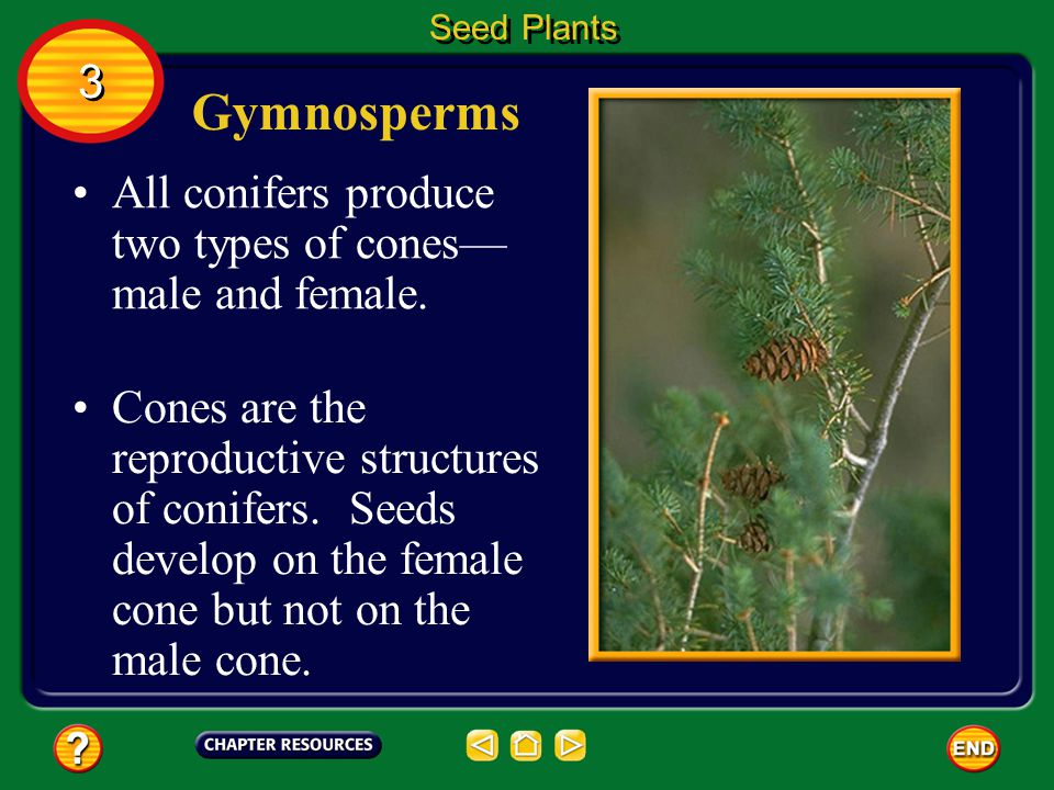 Gymnosperms Four divisions of plantsconifers, cycads, ginkgoes, and gnetophytes (NE tuh fites) are classified as gymnosperms. Seed Plants 3 3 You are
