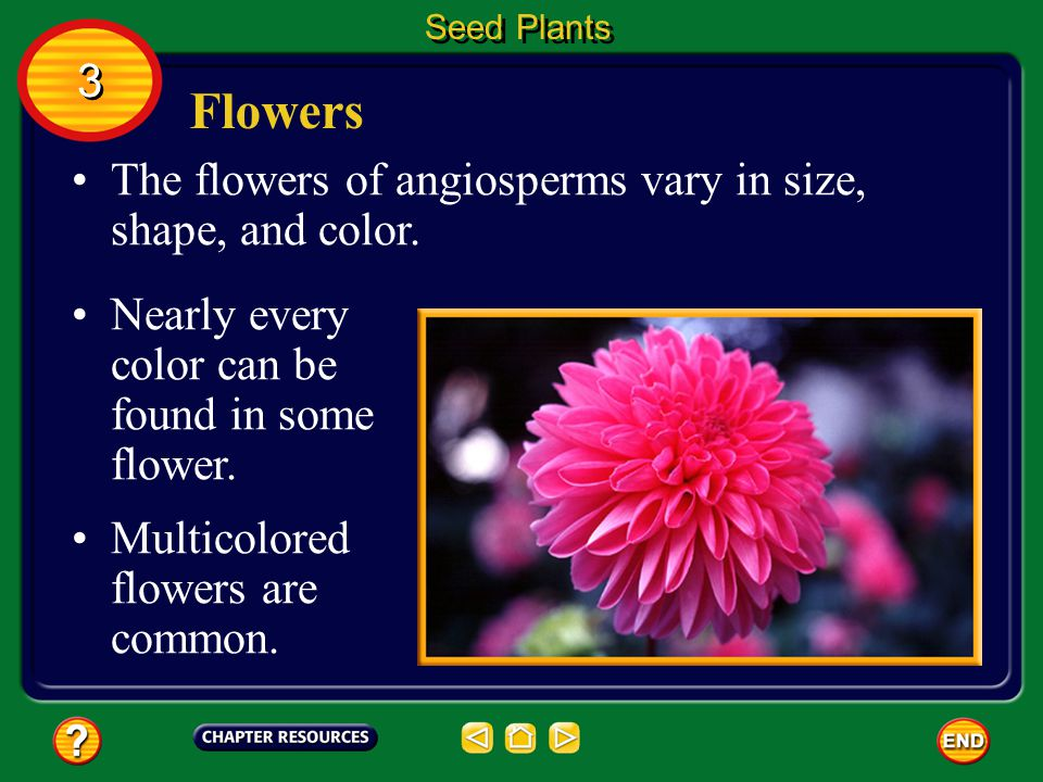 Angiosperms Angiosperms make up the plant division Anthophyta (AN thoh fi tuh). Seed Plants 3 3 More than half of the known plant species belong to th